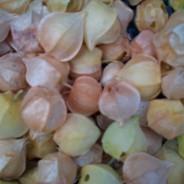 2013 Ground Cherries
