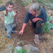 Digging Potatoes (8 varieties in 2013)